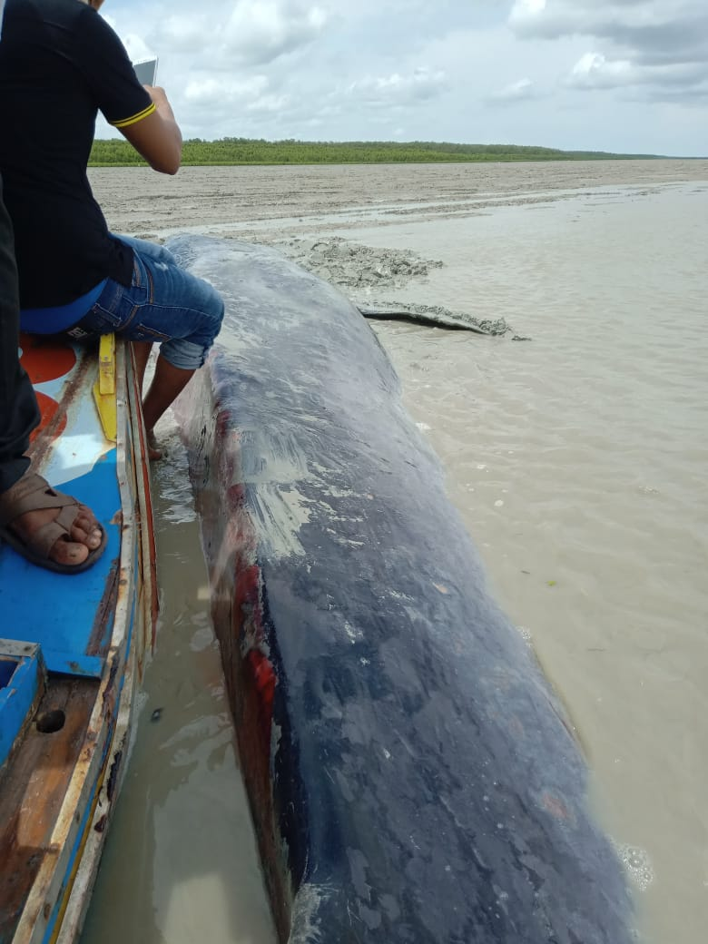 Seekor ikan Paus yang terdampar di Muara Sungai Semak Desa Sungai Pedada Kecamatan Tulung Selapan Kabupaten Ogan Komering Ilir (OKI), sekitar pukul 07.00 WIB, Senin (25/1/2021).