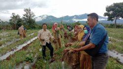 Kelompok Tani (Poktan) Mandiri desa Danau Gerak Kecamatan Semendo Darat Ulu berhasil mengembangkan penanaman Bawang Merah dengan cara Hortikultura.