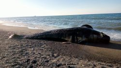 Seekor ikan paus ditemukan oleh warga dalam kondisi mati terdampar di tepi Pantai Dusun Teluk, Desa Sukadana, Kabupaten Lombok Utara, Nusa Tenggara Barat, Kamis (3/6)
