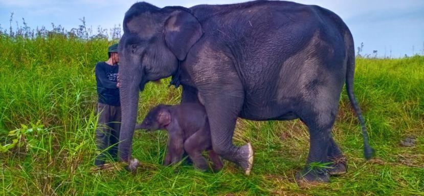 Seekor anak gajah jantan lahir dari induk bernama Sabana di Pusat Latihan Gajah (PLG) Jalur 21 Suaka Margasatwa Padang Sugihan