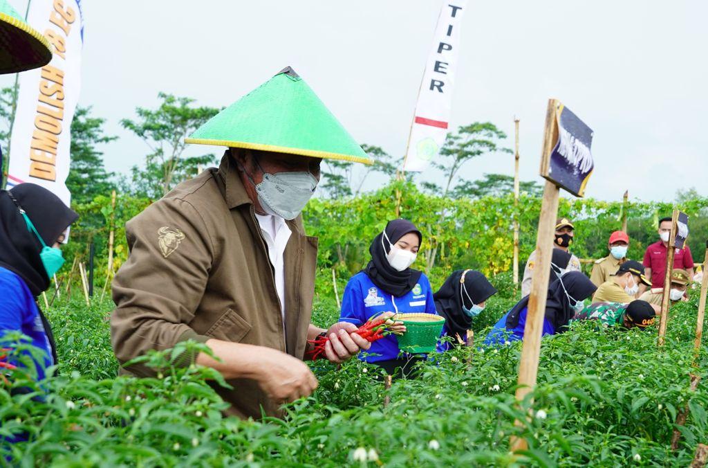 Herman Deru Panen Cabai Lado Bersama Petani OKU Timur