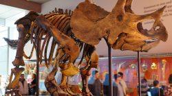 Fosil Kerangka Tritop Dinosaurus Terjual 6,6 Juta Euro